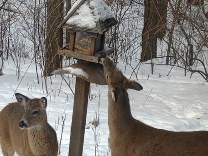 Deer eating from feeder